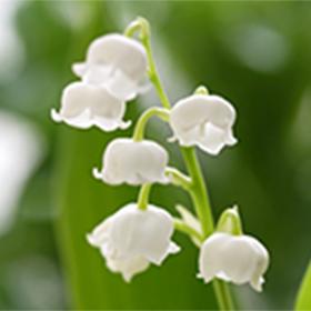 写真:すずらんの花