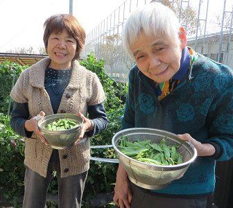 イメージ:◇ エンドウ豆収穫 ◇